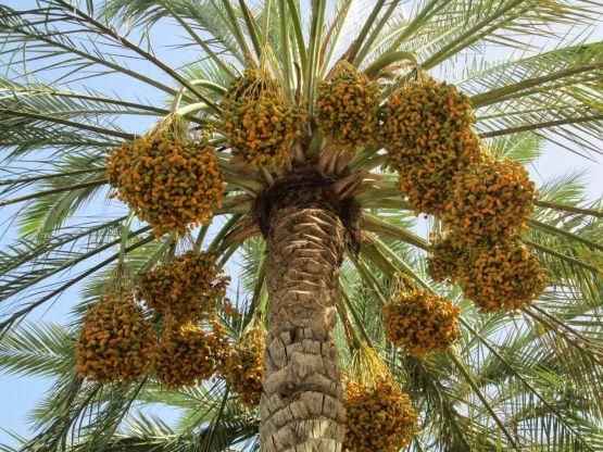إعلان موعد خروج لجان خرص الحبوب والثمار بمحافظة الأفلاج 1438هـ