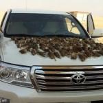 صيد جائر للطيور شرق اﻷفلاج.. والحياة الفطرية: المنع من الداخلية فقط