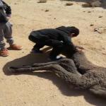 بالفيديو:طفل يرفض مغادرة موقع موت قعوده.. ومالك إبل يتبرّع له ببديل