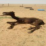 محافظ الأفلاج يوجه الزراعة بمتابعة كارثة نفوق الإبل