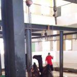 بلدية الأفلاج : تم ذبح أول وثاني العيد ١٧٠٠ أضحية و٦٠ من الإبل واستبعاد ١٩ من الأضاحي بسبب ضعفها