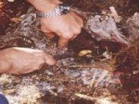 إصابة أول نخله في الأفلاج بسوسة النخيل الشهيرة والقاتلة . ومديرية الزراعة تؤكدها