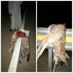 مواطن يصطدم بذئب بدلاً من الجمال على طريق الغيل ستارة