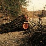 الاعتداء على الأشجار الخضراء المعمرة يندر بحدوث كارثة بيئية