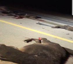 وفاة شخصان إثر حادث تصادم بـ 12 جمل على طريق الأفلاج العجلية