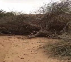 """بعد اقتلاع الأشجار الخضراء في الأفلاج الحبشان """" يد تزرع وأخرى تقطع """" والأهالي انقذوا البيئية"""