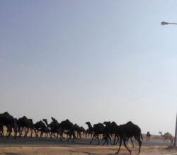 «الإبل السائبة».. خطر يهدد مستخدمي طريق الأفلاج - وادي الدواسر