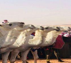 منقية متعبات لمالكها تركي بن سعد بن سويد الحقباني يحقق المركز الأول في مهرجان الملك عبدالعزيز للإبل