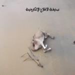 أهالي الأحمر وزائريه يطالبون بلدية الأحمر والدفاع المدني بإبعاد الإبل النافقة في مياه سد الأحمر