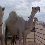سعودي يشتري مزايين أبل من دبي بـ 160 مليون ريال