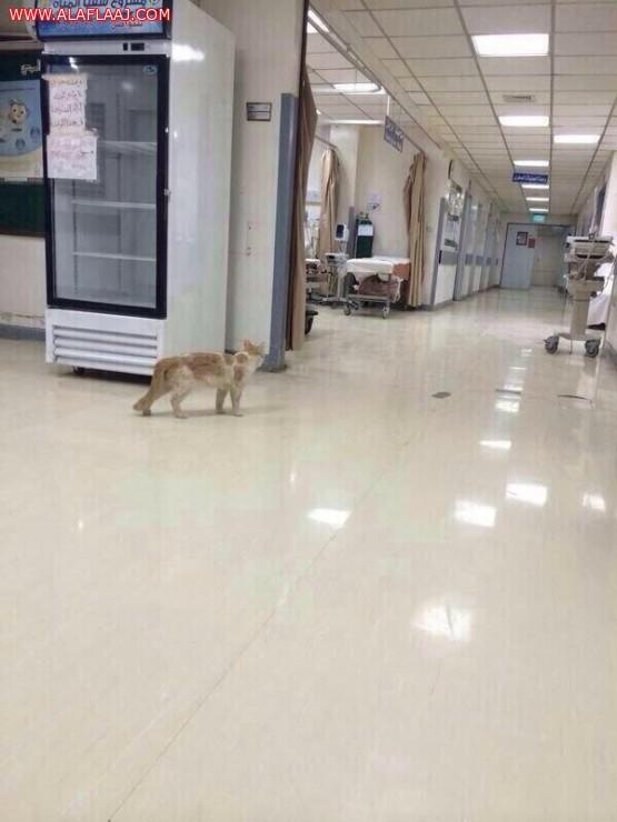مستشفى الأفلاج يعقب على وجود قط داخل قسم الطوارئ