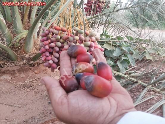 بداية الرطب في مزارع الجويفا هذا العام
